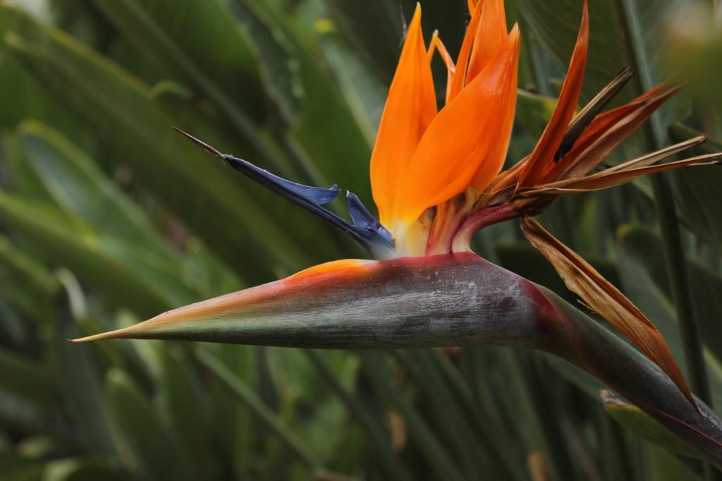 El ave del paraíso (Strelitzia reginae)